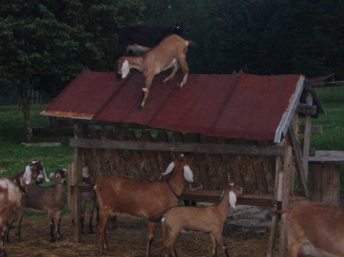 Goats playing on the barn