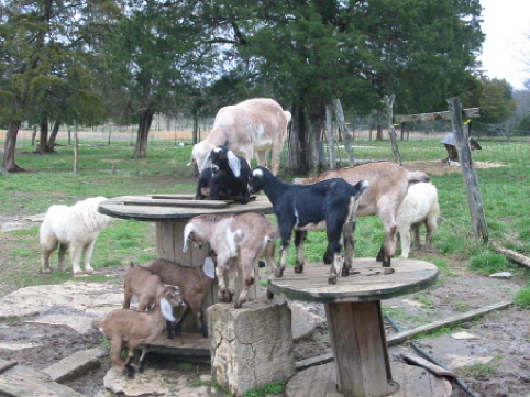 Goats on their playground